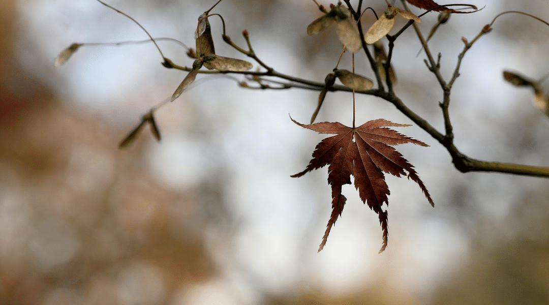 Dead leaf hanging from tree branch