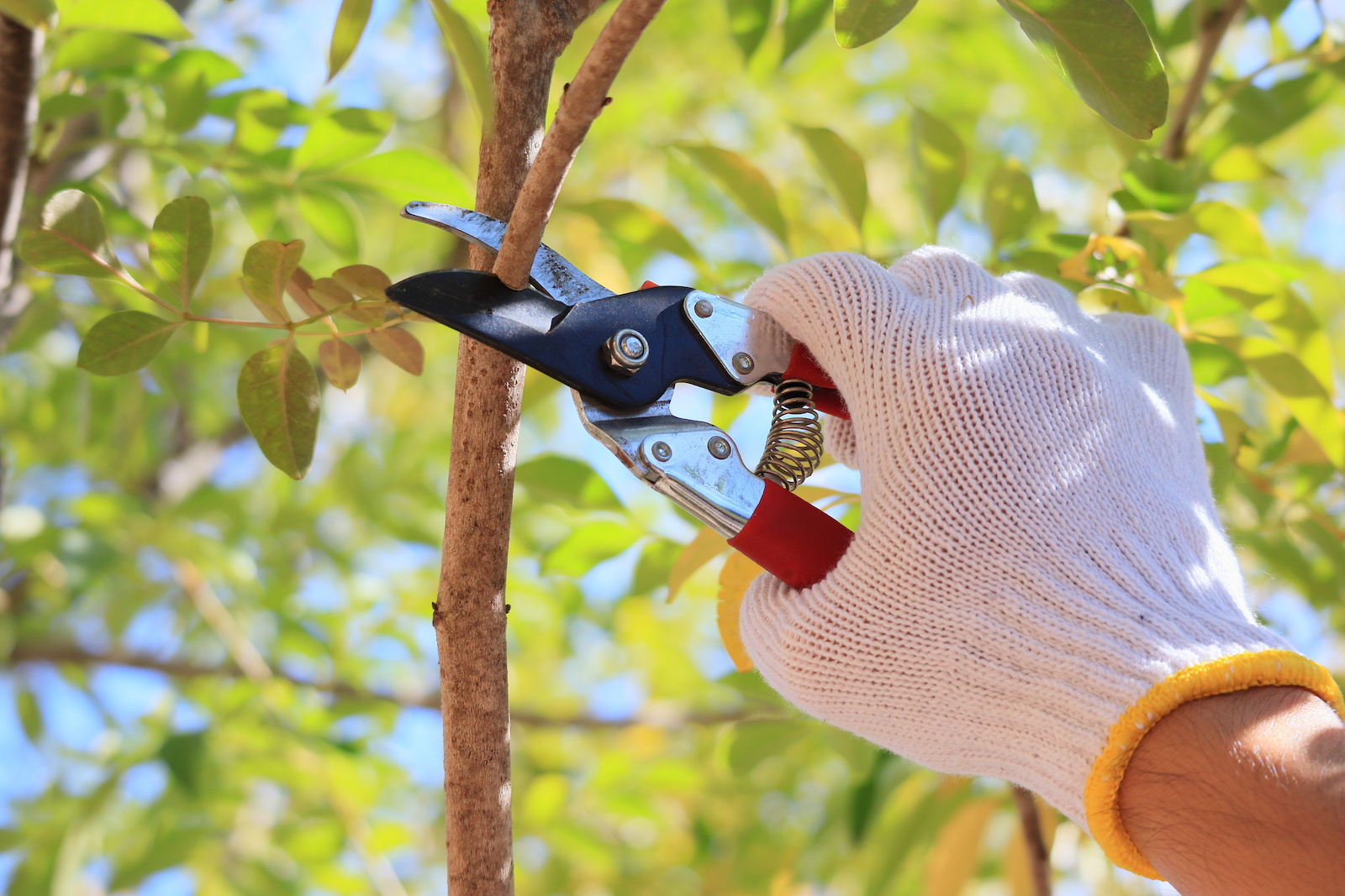 Potatura delle piante da frutto e ornamentali