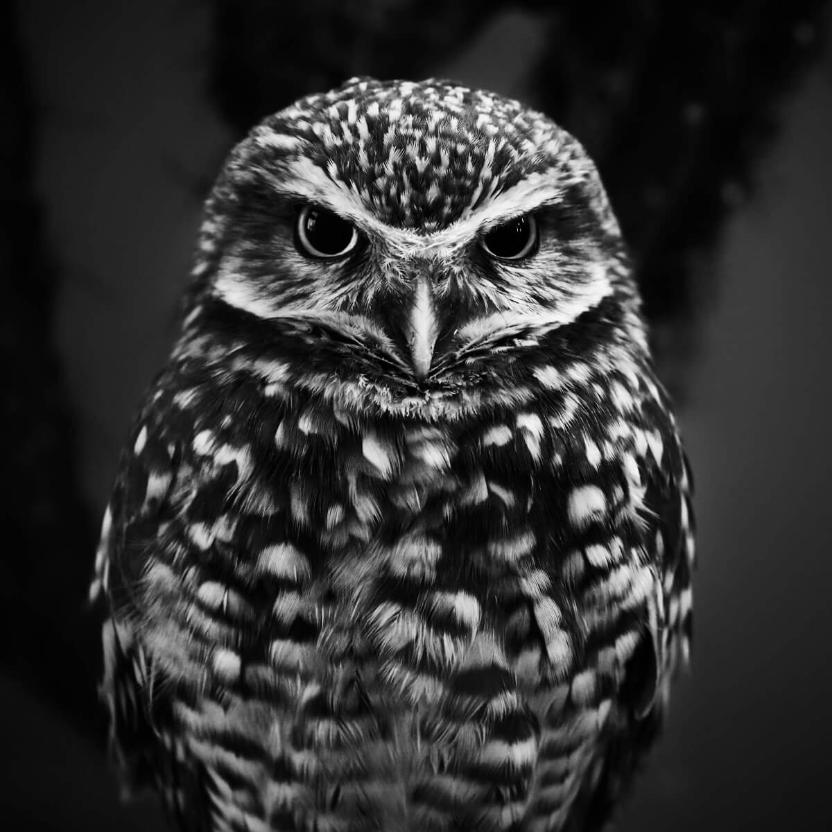 One Angry Owl