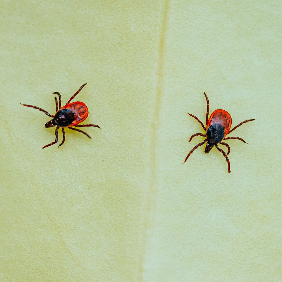 ticks-carriers-diseases-for-humans-and-animals-royalty-free-image-1622341298